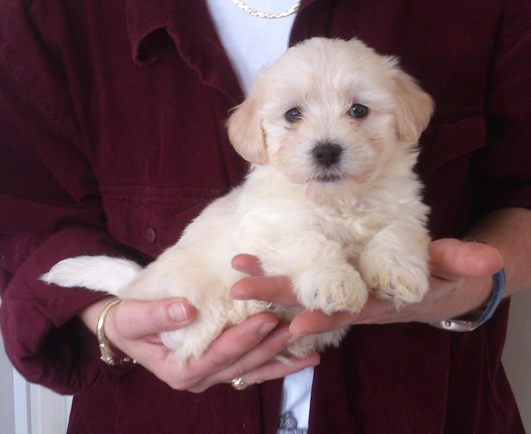 Havanese male puppy for sale